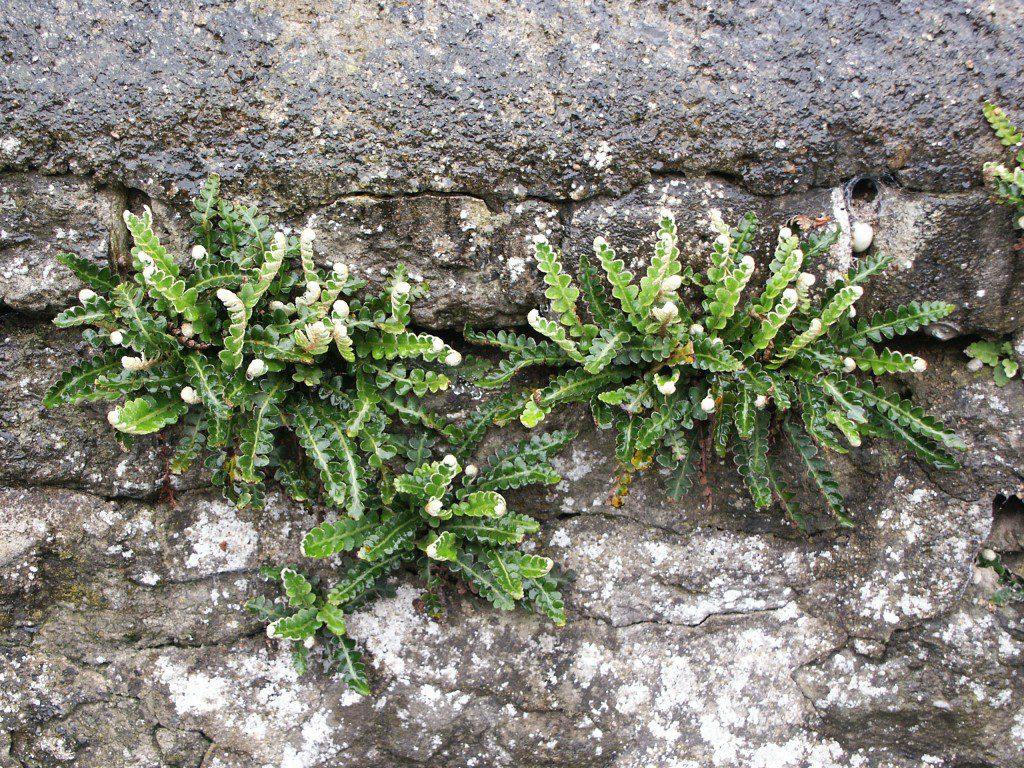 Asplenium ceterach on a wall in Oxford